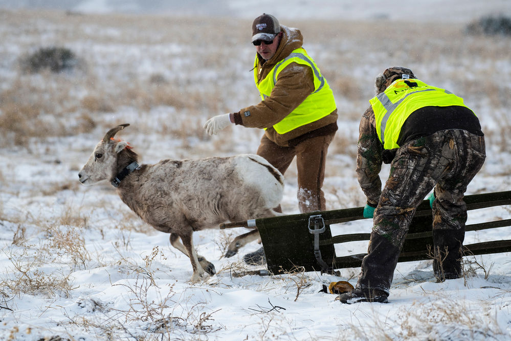 Bighorn sheep captures aid research