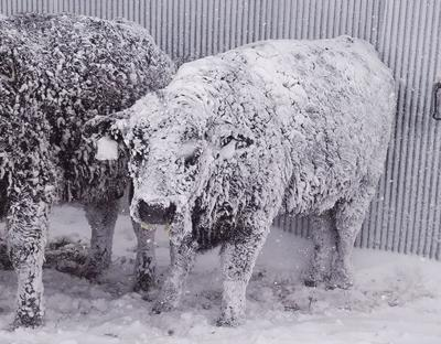 Local vet estimates area cattle losses from blizzard to be 4,000