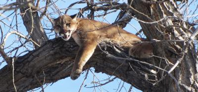 How many cougars are there in Western Nebraska?
