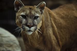 Outdoor notes: Game and parks to hold hearing about mountain lion hunting season