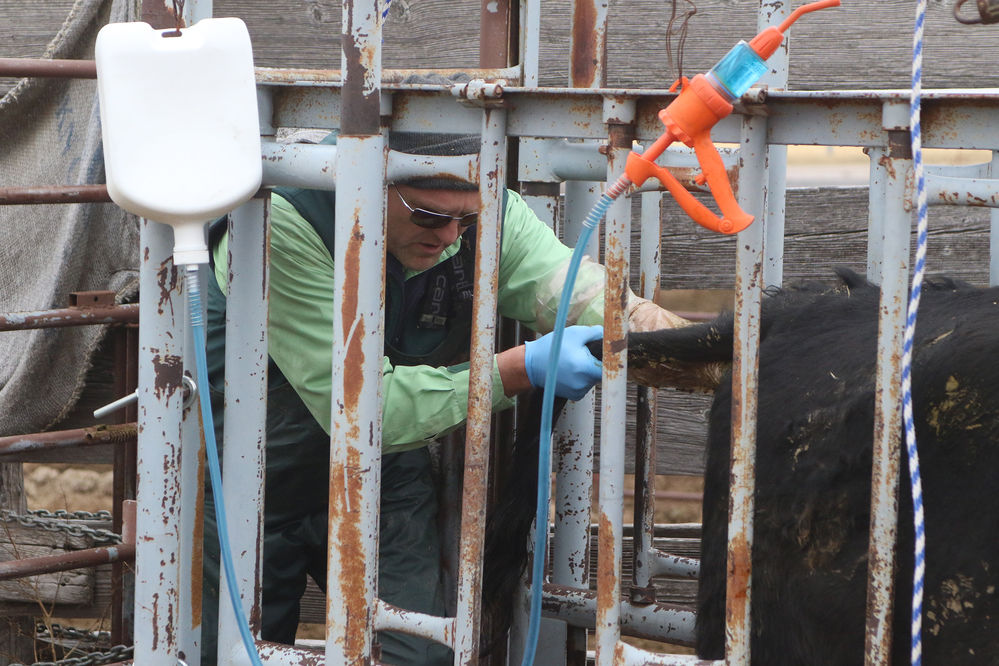 Travis Van Anne helps keep the herd in tip-top shop