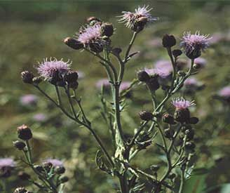 Range and Pasture Weed of the Week – Canada Thistle