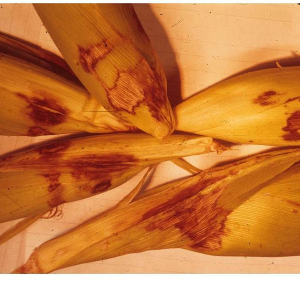 The Southern Corn Leaf Blight Epidemic
