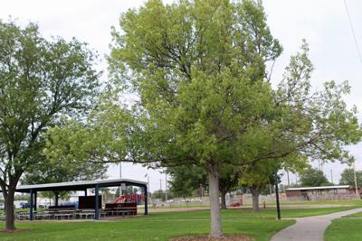 Emerald ash borers not yet here, but another bug is