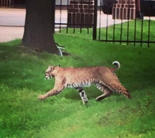 Mckinney Bobcats