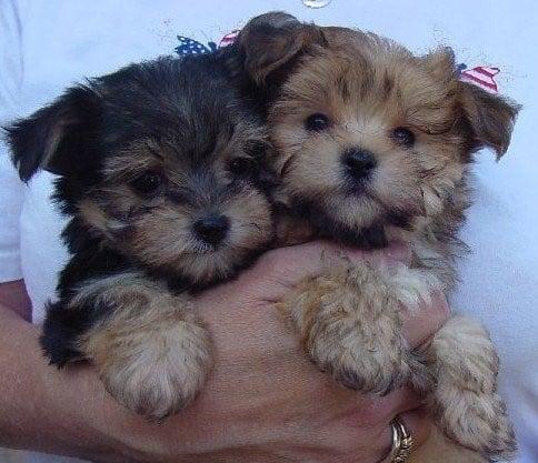 Healthy Teacup Yorkie Puppies For Adoption Starlocalmediacom