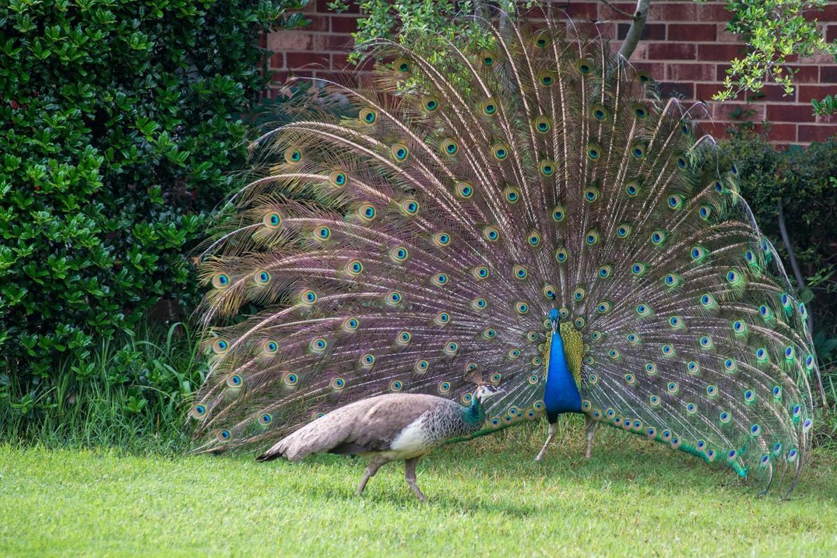 Peacocks in Flower Mound | The Leader | starlocalmedia com