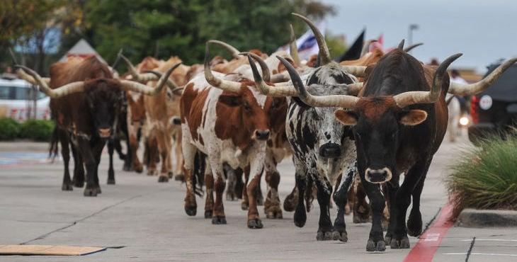 Texas Stampede Cattle Drive Allen American