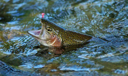 Elm Fork stocked with Trout, ready for fishing | News