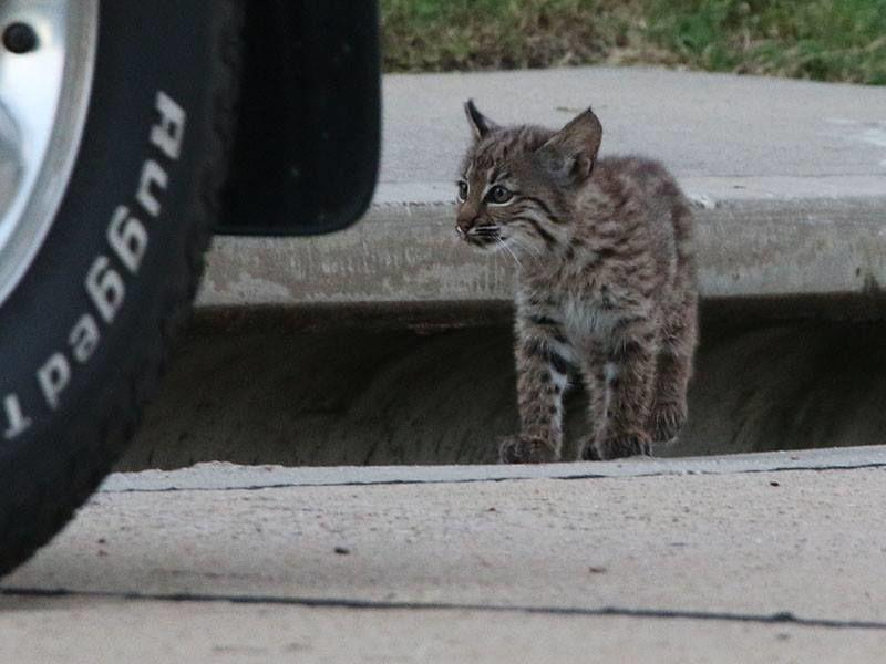 More Bobcat Sightings Expected As Temps