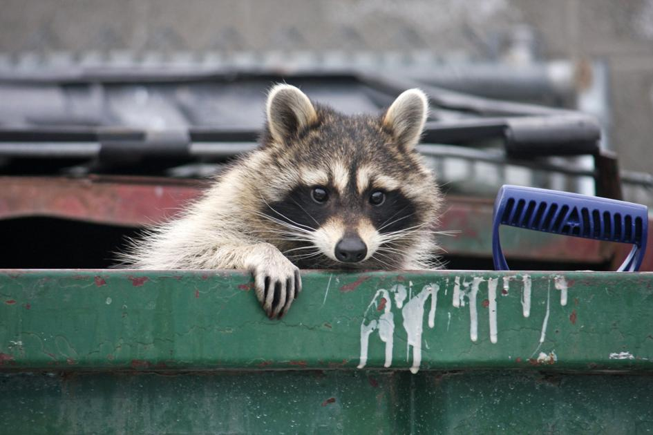 Raccoon Rescue Reminds Residents To Keep Trash Out Of Reach Of Wild Animals Plano Star Courier Starlocalmedia Com