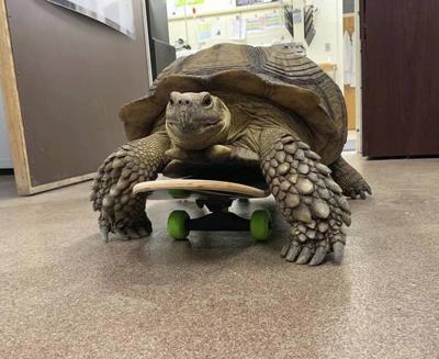 Shell on wheels: OSU vets treating paralyzed tortoise