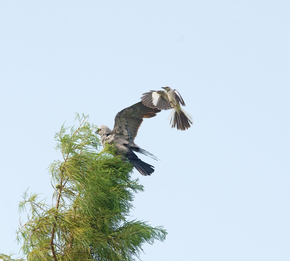 Kite and Mockingbird
