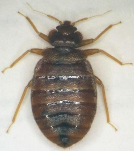 Avoiding Bed Bugs Before After Thrift Store Purchases News Stwnewspress Com