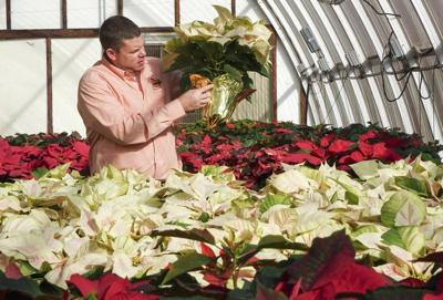 Poinsettias fly off shelves in first day of annual sale