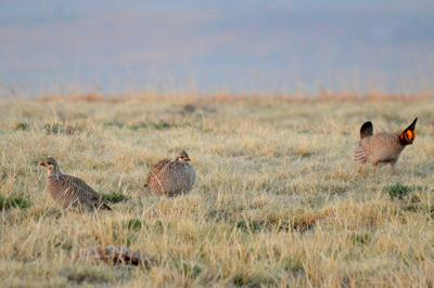 Prairie_chicken.JPG