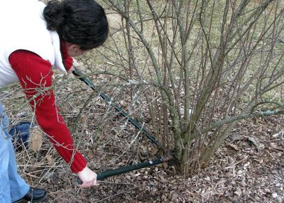 March is a great time to prune many shrubs, but not a