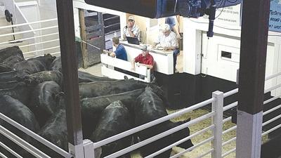Sold! Operation T-Bone cattle sale a success