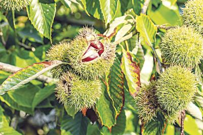Chinese chestnut fruit grows on tree