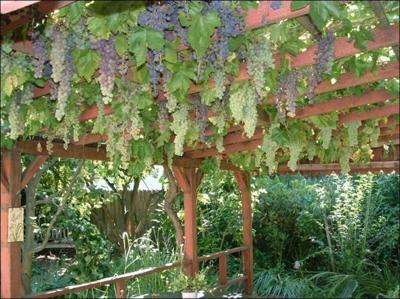 Growing grapes in your home garden