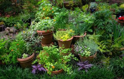Herbs in the landscape