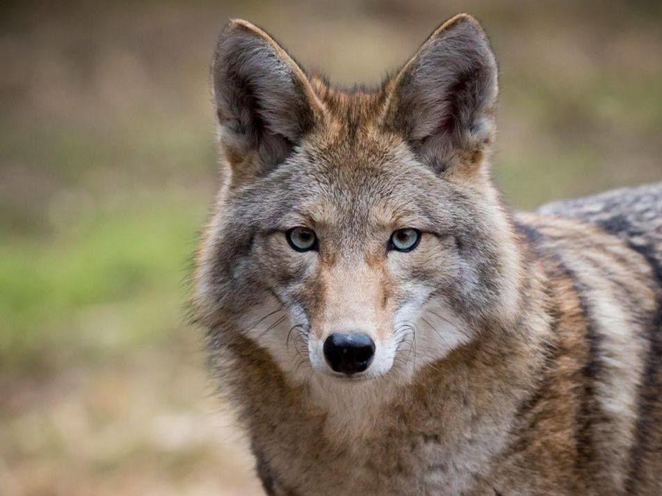 Moriah the coyote