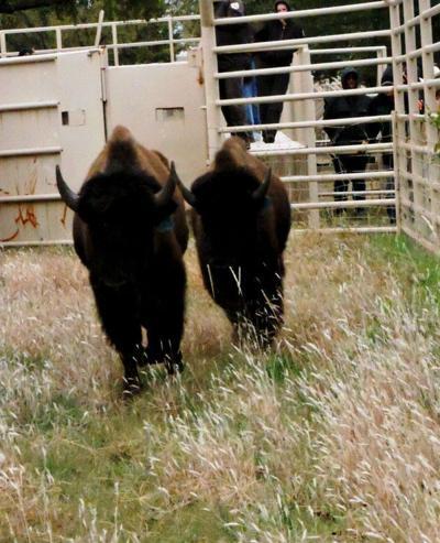 bison5 (copy)