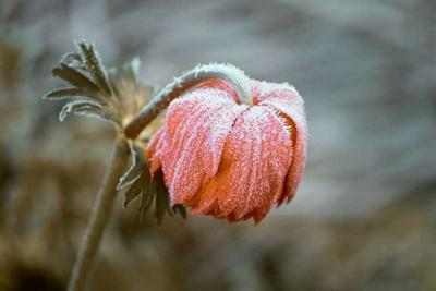 Good ways, bad ways to protect plants from frost, freeze