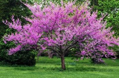 Forest Pansey Red Bud Tree