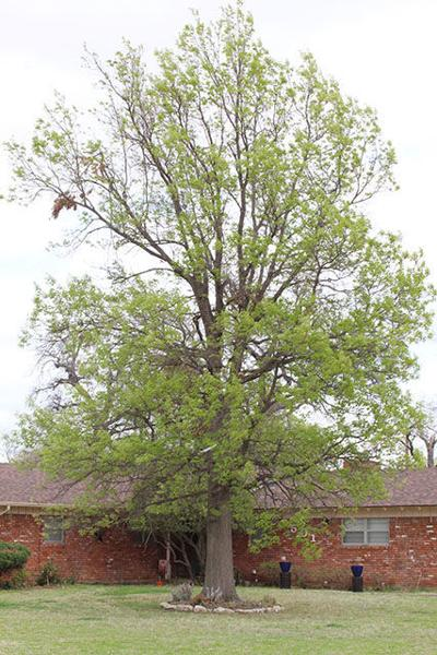 Mature tree care after the winter storms
