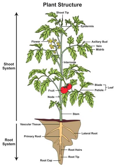 Understanding the parts of a plant