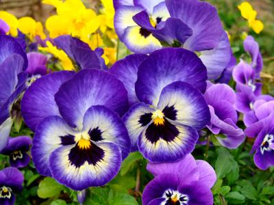 Planting Pansies and Violas in your garden