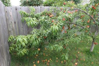 Thinning fruit set on fruit trees