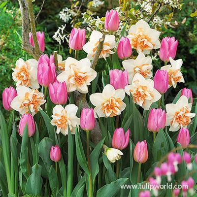 Growing tulips and daffodils in a garden
