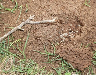 Fire ants are back