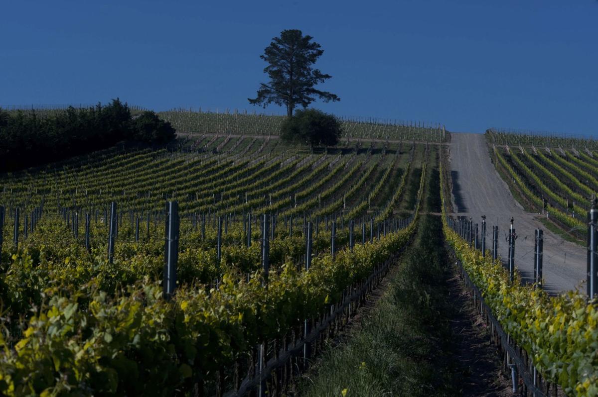Presquile Vineyard