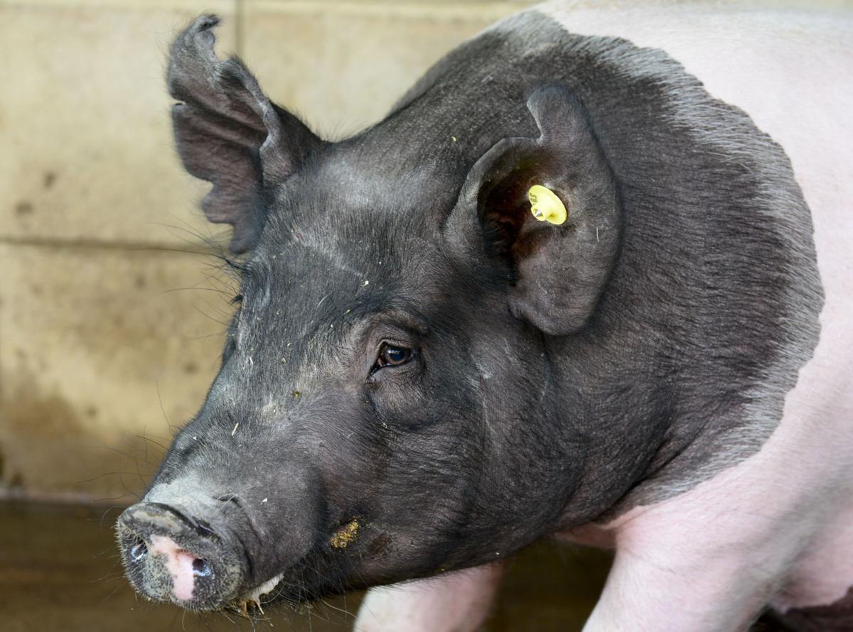 080918 Pig problem 02.jpg