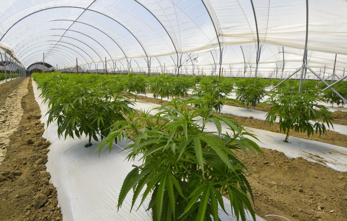 Buellton cannabis in hoop house