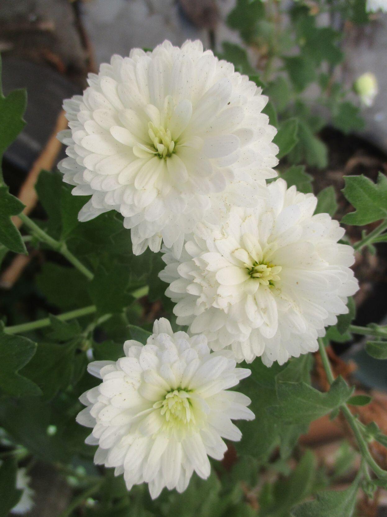 Chrysanthemums bloom between summer and winter.
