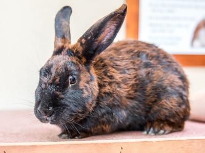 CAPA Pet of the Week -- Poppy