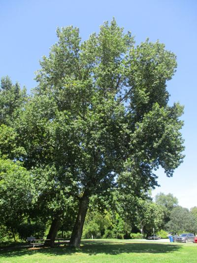 Cottonwoods Tomeo 7.11