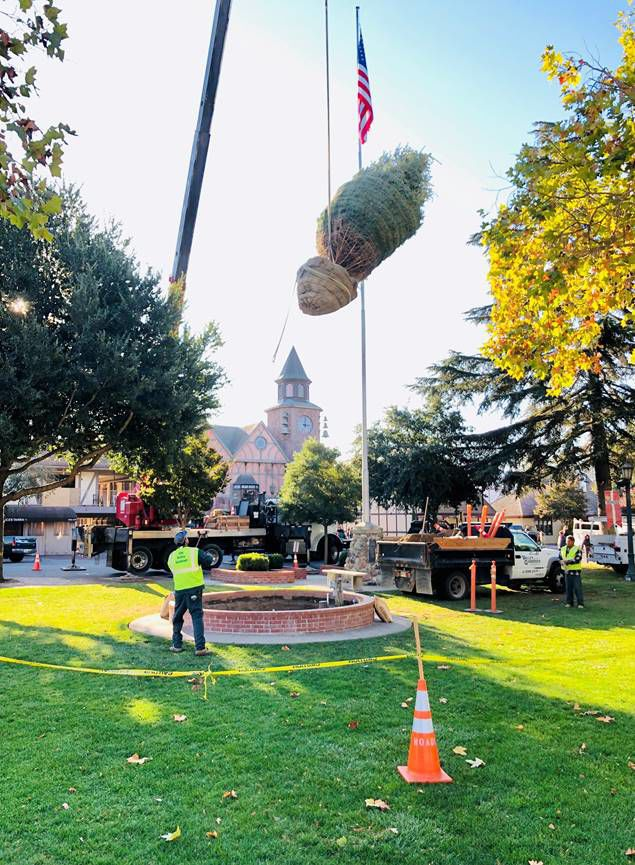 Sprucing It Up Solvang Celebrates Planting Of Live Christmas Tree