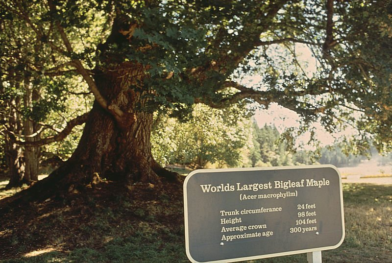 Bigleaf Maple Tree Image