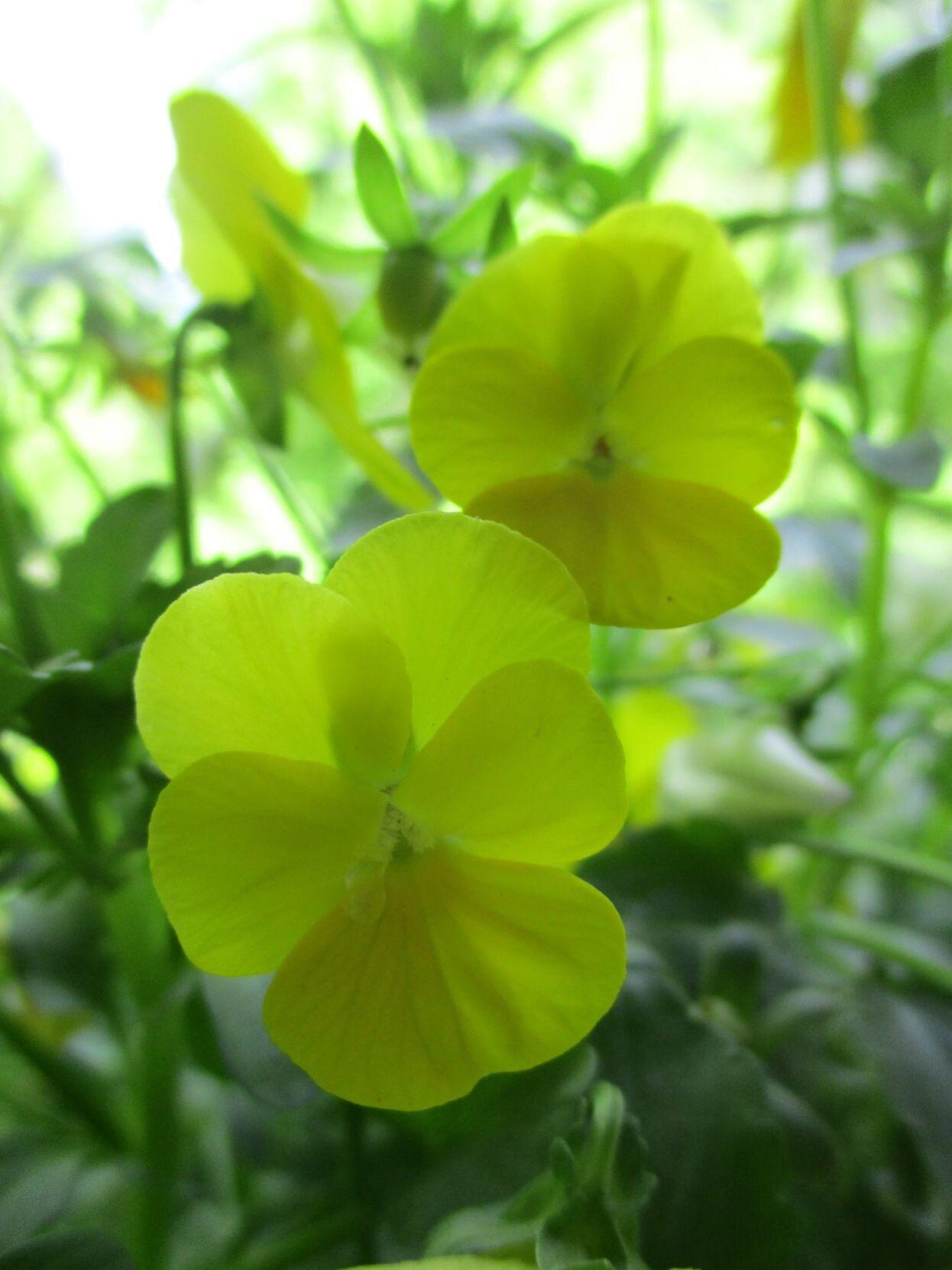 Violas are smaller versions of pansies.