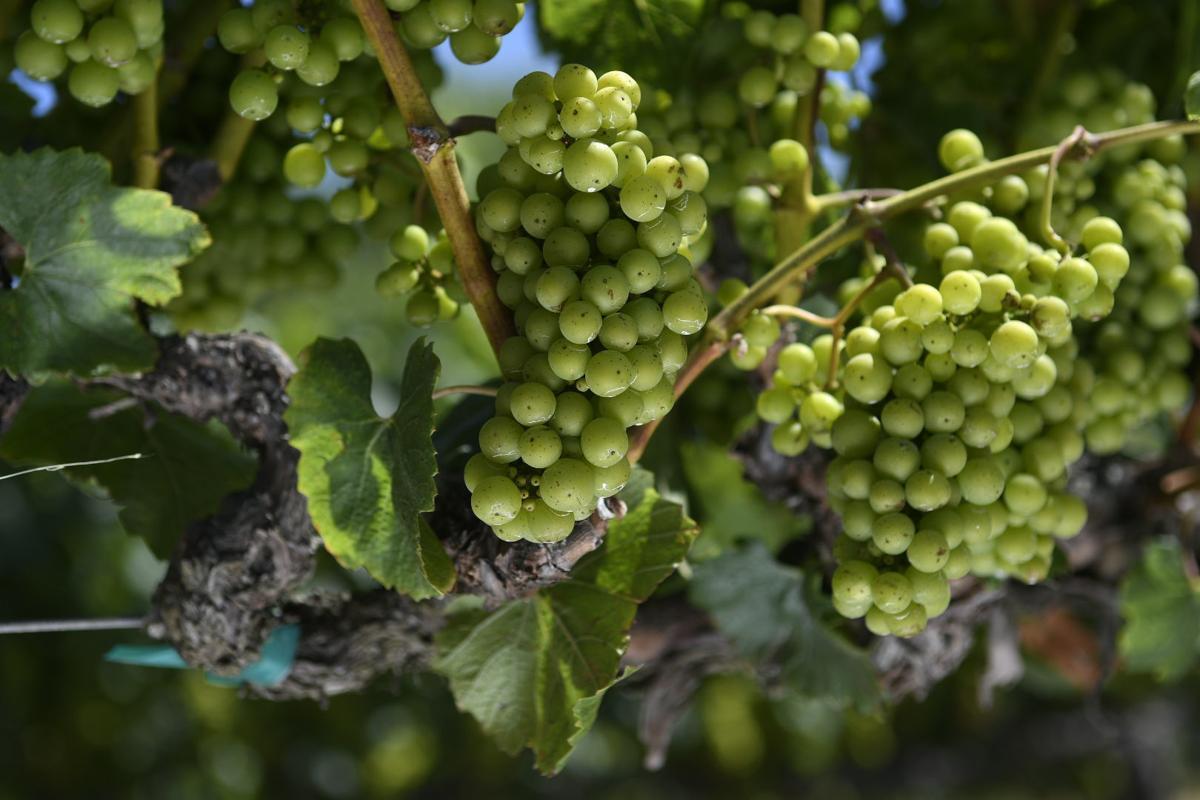 Wine grapes regain ground as Santa Barbara County's