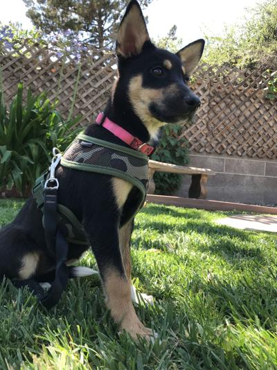CCSPCA Pet of the Week --Keira