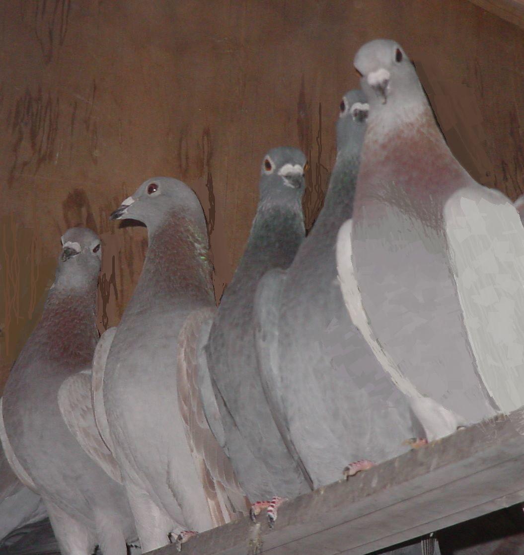 American racing pigeons in roost