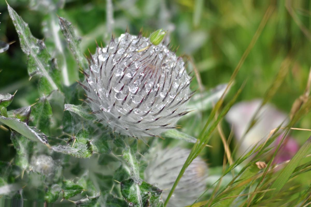Dew on a thistle.jpg
