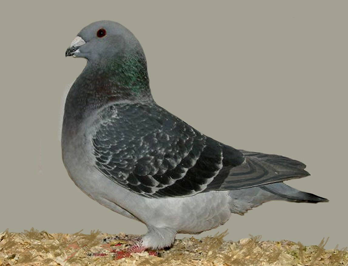 Blue chequer American racing pigeon