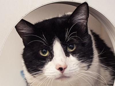 CAPA Pet of the Week -- Patches
